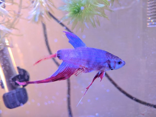 sick-betta-fish-argo-rescued-walmart-victoria-schild-2-5aaf69c65a4fb__605