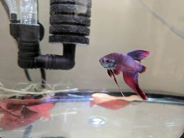 sick-betta-fish-argo-rescued-walmart-victoria-schild-3-5aaf69c7b7425__605