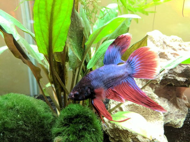 sick-betta-fish-argo-rescued-walmart-victoria-schild-4-5aaf69c91dc14__605
